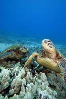 Hawaii, Two Green Sea Turtles