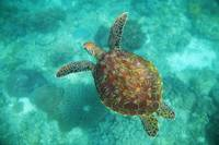 A Sea Turtle Swims Underwater Apo Island, Negros