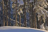 Fresh snowfall on spruce forest on the anchorage g