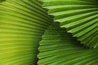 Palm Leaves And Fronds At The Singapore Zoo Singa