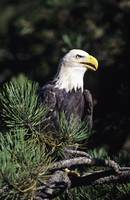 Closeup Of A Bald Eagle In Tree