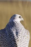 Closeup View Of The Back Of A Gyrfalcon In The Whi