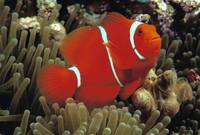 Indonesia, Spine Cheek Anemone Fish
