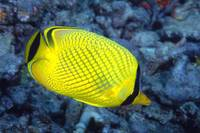 Indonesia, The Latticed Butterflyfish