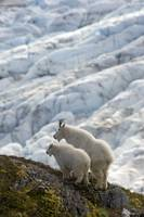 A nanny Mountain Goat with a young kid overlook a