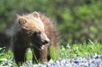 Close-Up Of Grizzly Bear Cub With Mouthful Of Gras