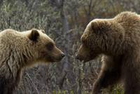 Sow and cub grizzly face to face at Sable Pass in