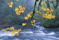 Oregon, Cascade Mountain Range, Yellow Autumn Leav