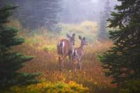 Deer In The Fog In Paradise Park In Mt. Rainier Na