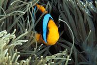 Mariana Islands, Saipan, Orange-Fin Anemone Fish I