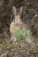Snowshoe Hare, Denali National Park And Preserve,