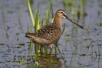 Long-Billed Dowitcher Stands In Marsh At Creamer'
