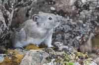 Collared Pika Sits In Rockpile, Denali National Pa