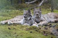 Pair Of Lynx Rest In Dense Spruce Forest, Denali N