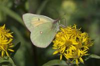 Hecla Sulphur Butterfly On A Northern Goldenrod Fl