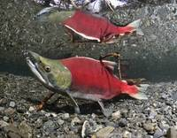 Male Sockeye Salmon, Power Creek, Copper River Del