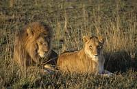 Male And Female Lion In Grass Masai Mara Game Res