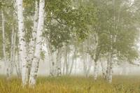 Birch Trees In The Fog Thunder Bay, Ontario, Cana
