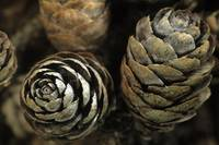 Closeup of Weathered Black Spruce Cones, Brooks Ra