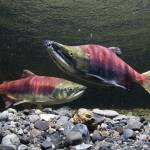 """Sockeye Salmon On Spawning Grounds In Power Creek,"" by DesignPics"