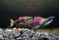 Sockeye Salmon On Spawning Grounds In Power Creek,