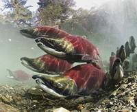 Sockeye Salmon, Power Creek, Copper River Delta, S