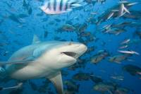 Fiji, Bequ Lagoon, Bull shark among a school of fi