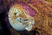 Indonesia, Chambered nautilus