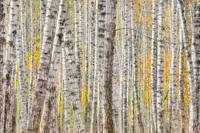 A poplar Tree forest creates a pattern, Kantishna,