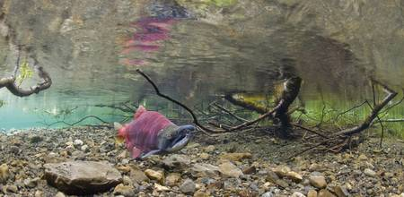 A Sockeye Salmon On Spawning Grounds, Power Creek,