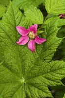 Pink Salmon Berry flower resting on Devils Club le