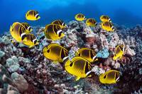 Hawaii, Lanai, Schooling Raccoon Butterflyfish