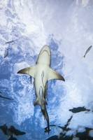 Grand Bahamas, West End, Lemon Shark Underwater Wi