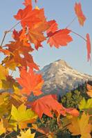 Fall Colors From Bonney Butte, Mt Hood National Fo