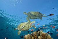 Malaysia, Sipidan, Two Green Sea Turtles