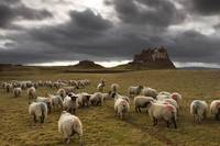 Sheep Grazing By Lindisfarne Castle, Berwick-Upon-