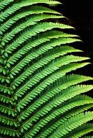 Hawaii, Close-Up Of Bright Green Ferns