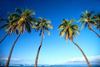 Hawaii, Maui, Lahaina, Coconut Palm Trees Along Oc