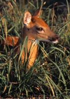 Young Deer Laying In Grass