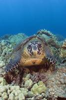 Hawaii, Big Island, Hawksbill Turtle