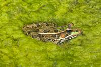 A Rio Grande Leopard Frog Sitting On A Bed Of Alga