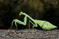 Praying Mantis Perched On A Tree