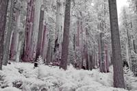 Infrared Shot Of The Giant Sequoia Forests In Sequ