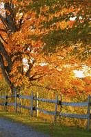 Maple Trees And A Rail Fence In Autumn Lawrencevi