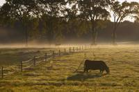 A Cow Grazing In A Field In The Early Morning Vil