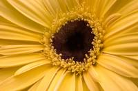 Close Up of a Gerbera Daisy