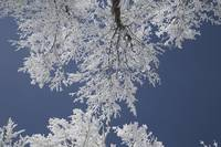 Tops Of The Trees Covered In Snow Against A Blue S