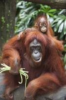 A Mother Orangutan Eats Vegetables With Her Baby