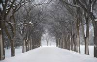 Grove Of Trees In Winter Fog, Assiniboine Park, Wi