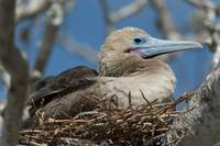 Red-Footed Booby Sitting In A Nest Galapagos, Equ